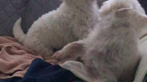 Westie sofa rumble