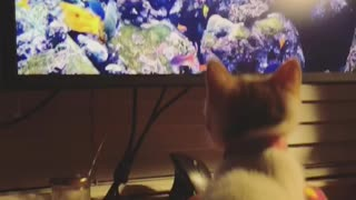 Foster kitten watching the fishies