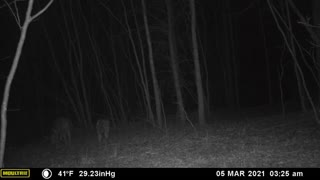Coyotes in NC