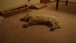 Sleeping Walking Dog