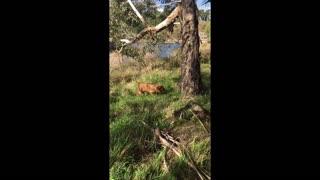 Mister Brown The Rhodesian Ridgeback; more, slightly older puppy adventures