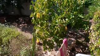 Naturel de figues noir et vert
