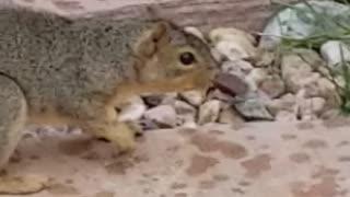 Dizzy Squirrel