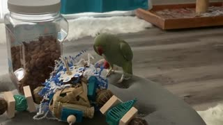 Singing & dancing parrot is a natural entertainer