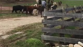 Cattle Drive Turns Into Cattle Ride