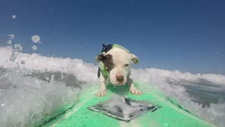 Abandoned Dog Becomes Surfing Pro
