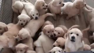 Mom Dogs and Puppies playing together