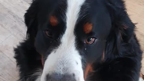 Bernese Mountain Dog loves cheese