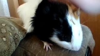 Guinea pig frolic