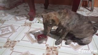 What happen when the dog eat watermelon
