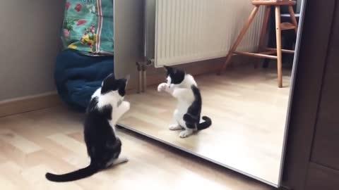 cat dancing in front of mirror