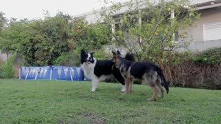 Fun video Dogs playing with each other