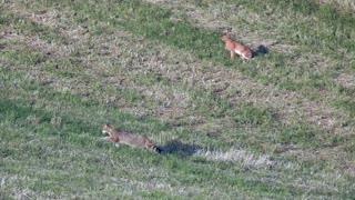 European Wildcats Hunting Field Mice
