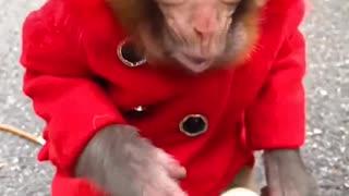 Smart monkey eat fruit
