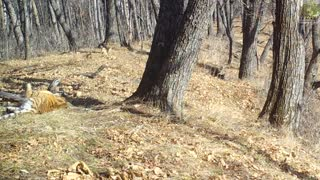 Cute Siberian Tiger Cubs Play Together In Forest