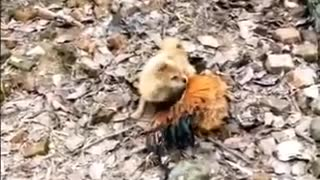 Funny Dog VS Hen Video   Must Watch Funny Video