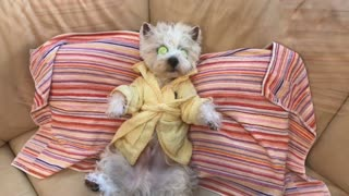 Westie takes much needed spa day