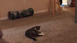 Cute Feline Loves Playing Fetch