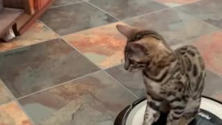 Cat loves riding on top of robot vacuum all day long