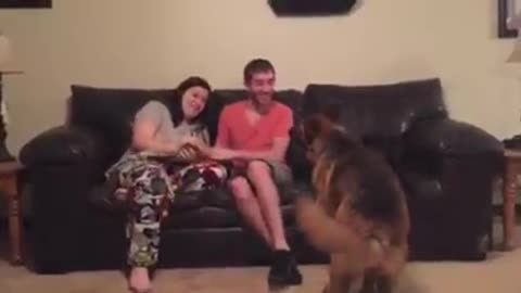 German Shepherd throws hilarious fit when humans play fight