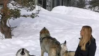 Woman Incredibly Starts Pack Howl With Norwegian Wolves