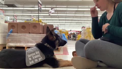 First Month of Service Dog Training for Puppy Alsatian