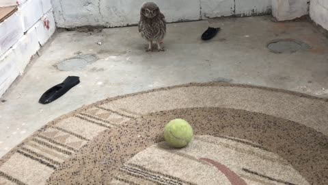 Baby owl and big toys