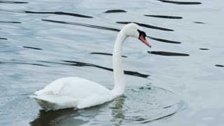 Swan searching for food!