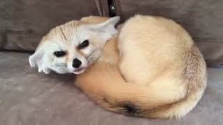 Fox pet Cutest thing EVER
