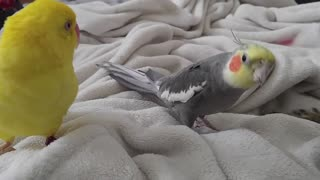 Cockatiel singing and talking to cat