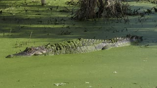 American Alligator basking in the sun with it's mouth wide open
