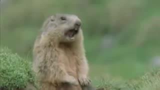 funny beaver
