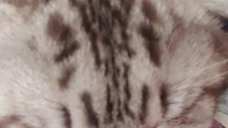 Cute cat purrs