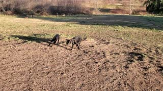 Rocky and Rosie at dog park