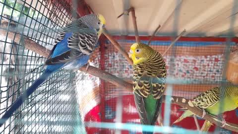 Love Birds Parrot Make Happy