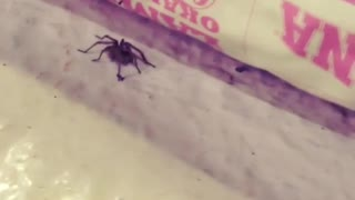 Scaring a Friendly Spider