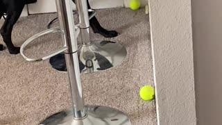 Dog Tries to Bury Bone with Ball
