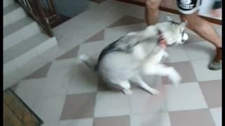 Lively Husky Loves to Dance