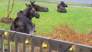My New Moose Friends