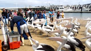 Feeding wild pelicans