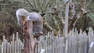 Watch the brown squirrel playing on the trunk of the tree at the country farm and eating food