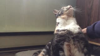 Cat Leans Back Really Far When Getting Back Scratched