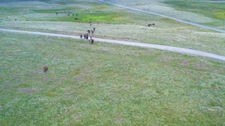 Prairie horses