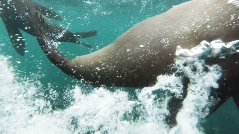 Hawaiian Monk Seal Under Water