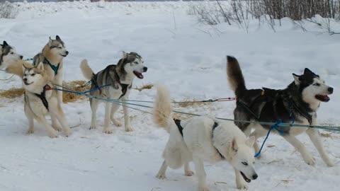 Husky Dog (Mushing) Sledding Tour in Fairbanks, Alaska