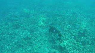 Maui turtle release