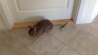 Budgie Loves Rabbit