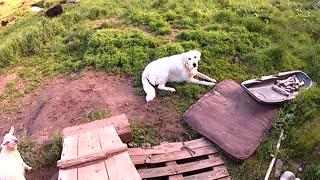 Guilty dog reluctantly gives up stolen item