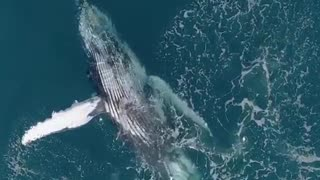 A blue whale swimming in the ocean