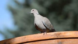 Lovely Dove 02